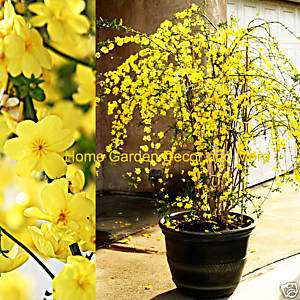 Chinese Yellow Flowers Winter Jasmine Rooted Plant RARE