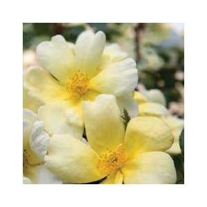 Sunny Rose Seeds Packet Patio, Lawn & Garden