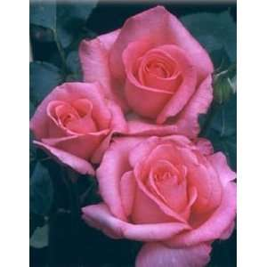 Aromatherapy (Rosa Hybrid Tea)   Bare Root Rose Patio