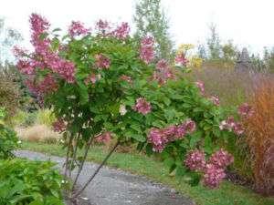 Hydrangea tree 2 3 feet tall Pink Diamond