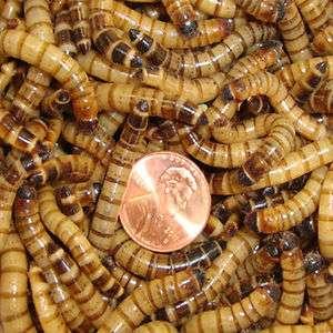 250ct Live Super Worms, reptile bird fish fishing (