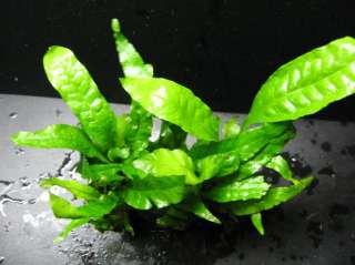 fern each portion has 10 12 leaves java fern is a beautiful addition