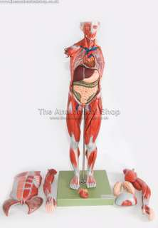 DELUXE ANATOMICAL MODEL MALE MUSCLE TORSO + ORGANS 85cm
