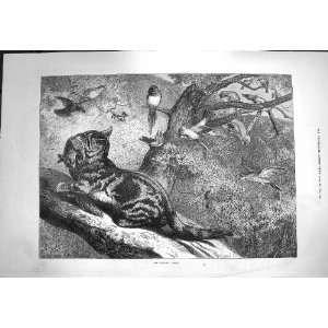 1871 April Nature Wild Cat Birds Trees Goddard Fine Art